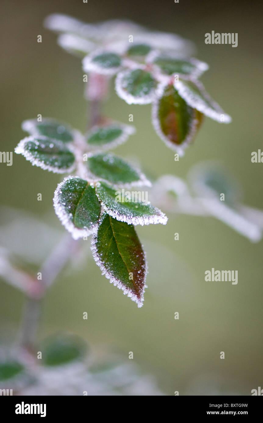 Helado hojas Foto de stock