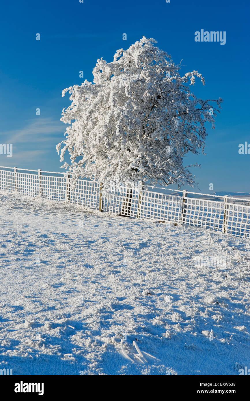 Árbol pequeño cerco y cubierto de hoar heladas y nieve. Foto de stock