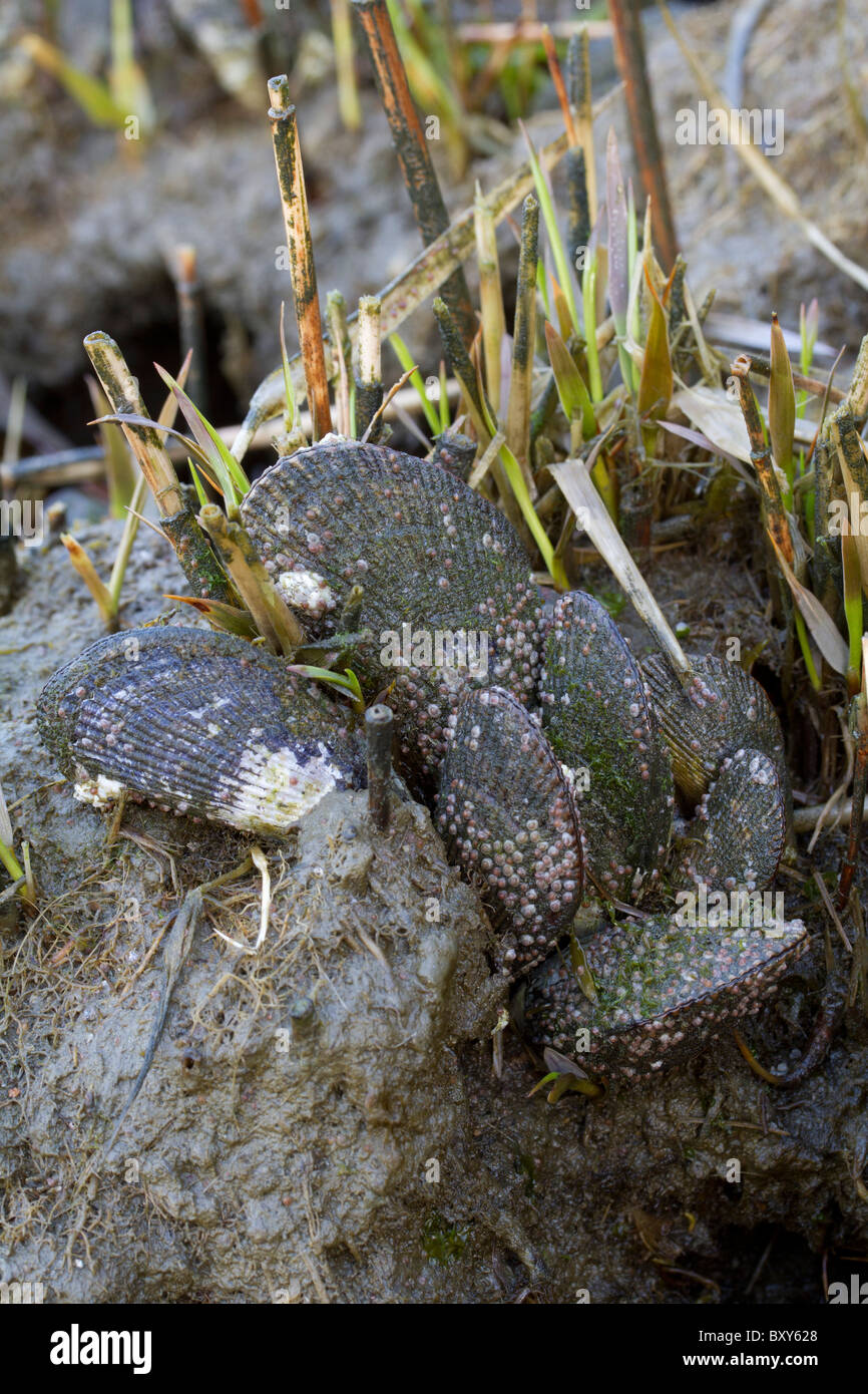 Geukensia demissa estriada (mejillones) con jóvenes y maduros percebes (Semibalanus balanoides) en una marisma. Foto de stock