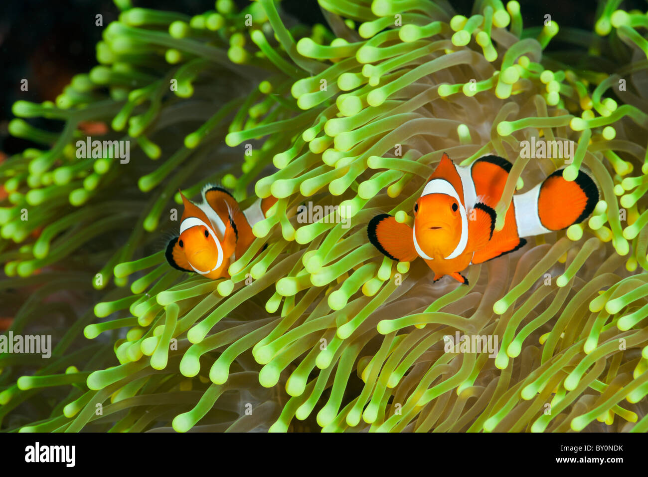 Payaso Amphiprion percula Anemonefish, Alam, Batu, Bali, Indonesia Imagen De Stock
