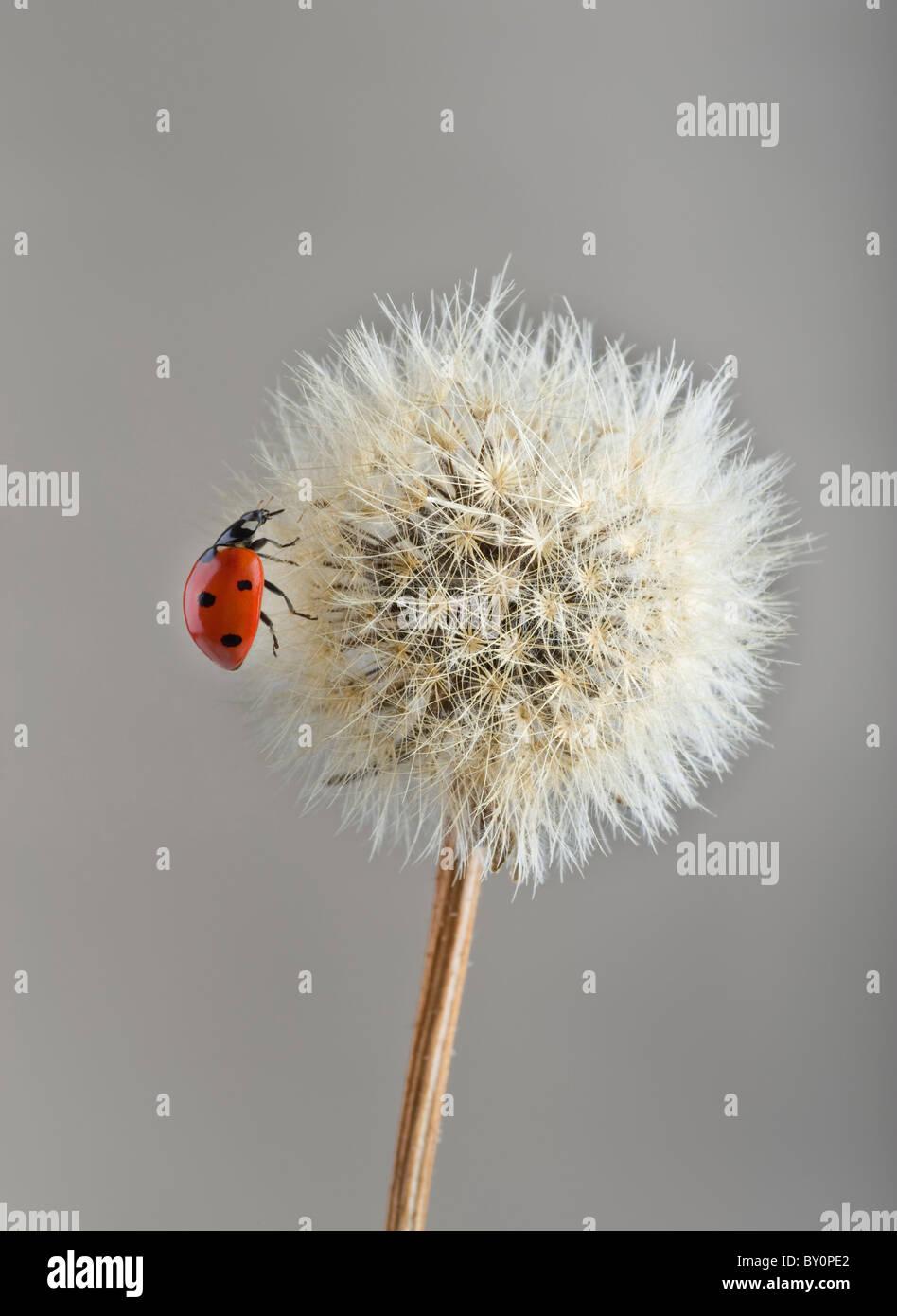 Ladybug en jaramago Foto de stock