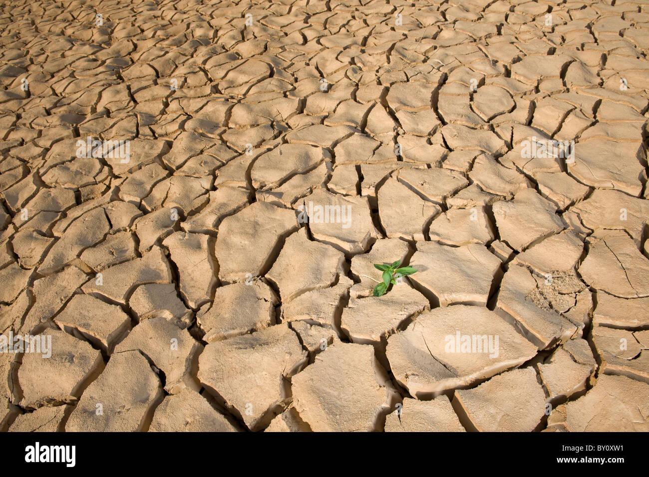 Pequeñas plantas de albahaca en apile de suelo con una fisura en la superficie del suelo Imagen De Stock