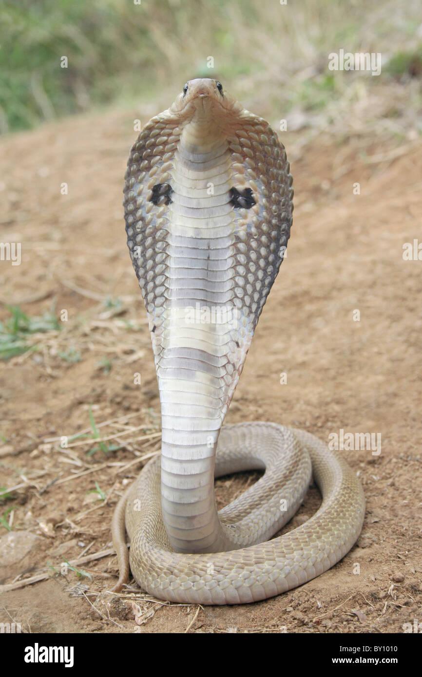 SГјdafrika Schlangen