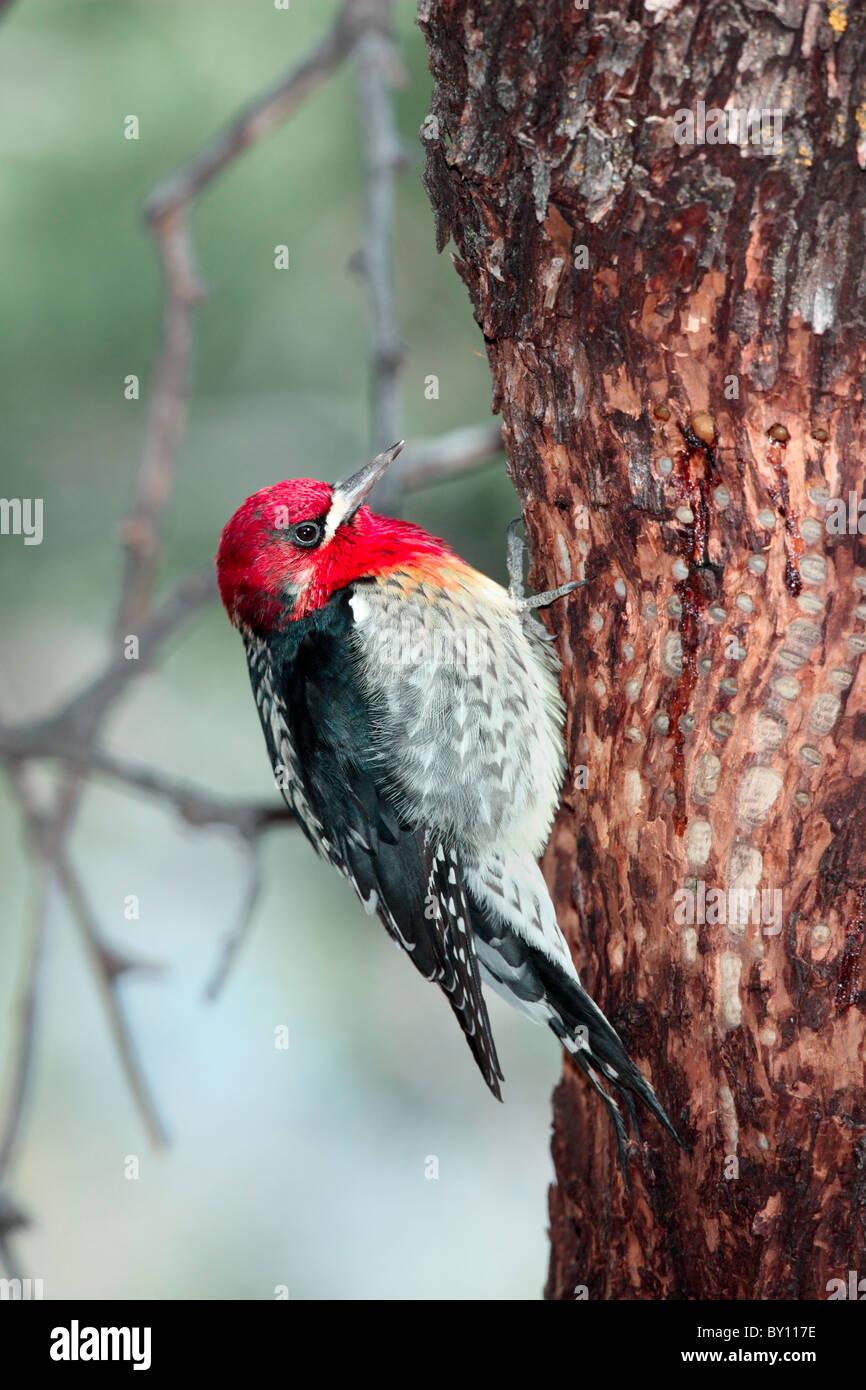Rojo-breasted Sapsucker Foto de stock