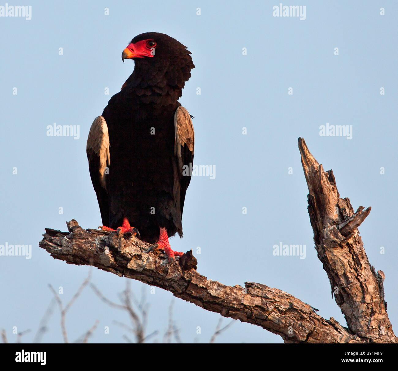 Un águila Bateleur en la Reserva de Caza Selous. Imagen De Stock