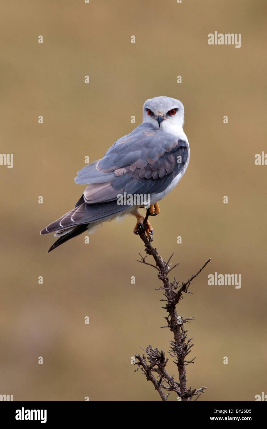 Un pigmeo Falcon en Masai-Mara Reserva Nacional. Imagen De Stock