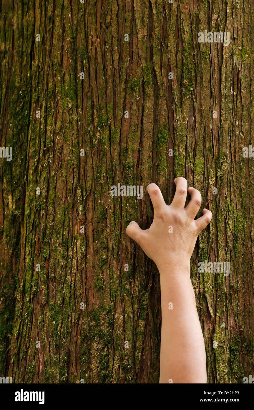 Una mano sujeta el tronco de un árbol de cedro. Imagen De Stock