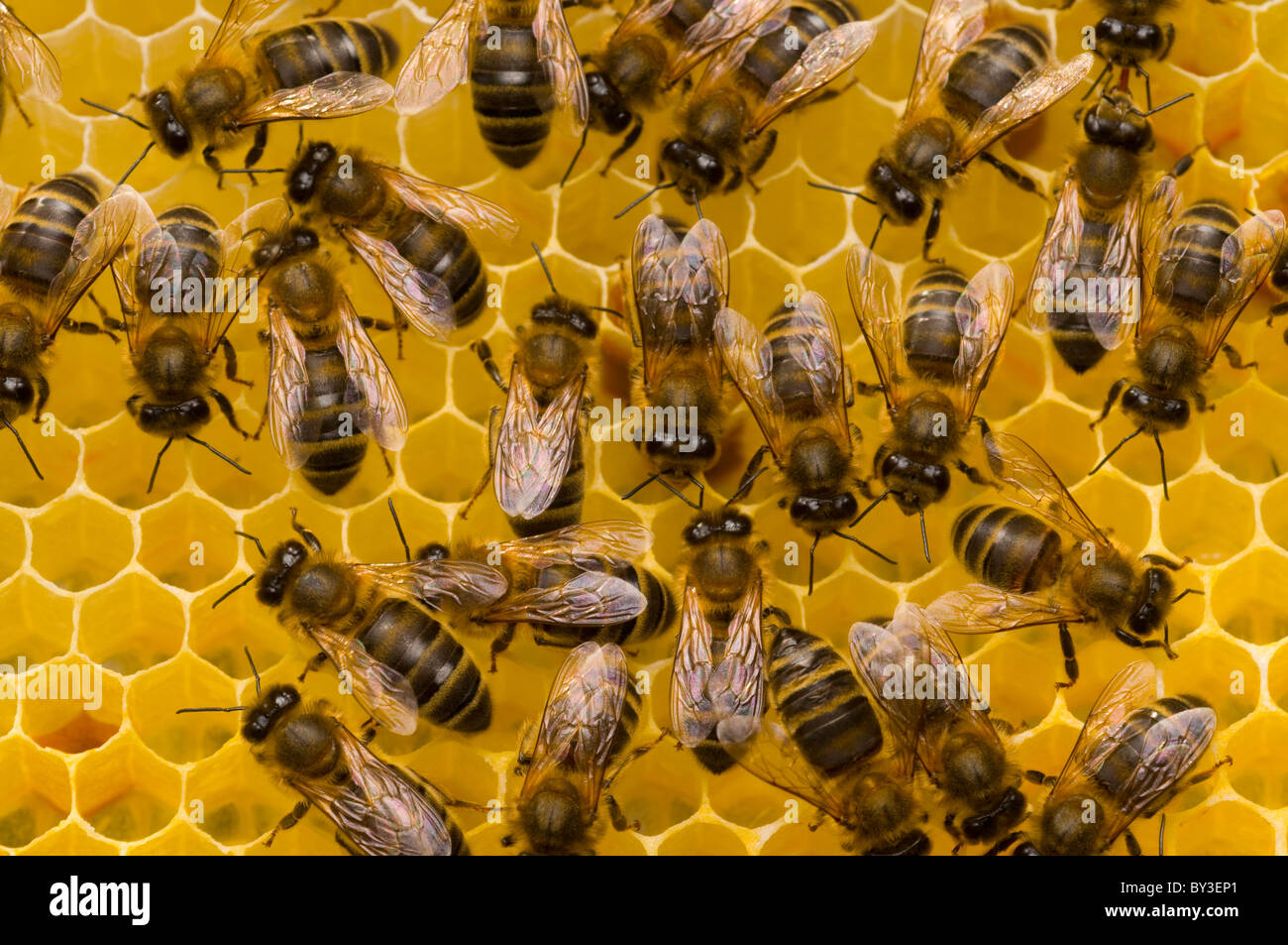 Las abejas melíferas Apis mellifera sobre Honeycomb Foto de stock