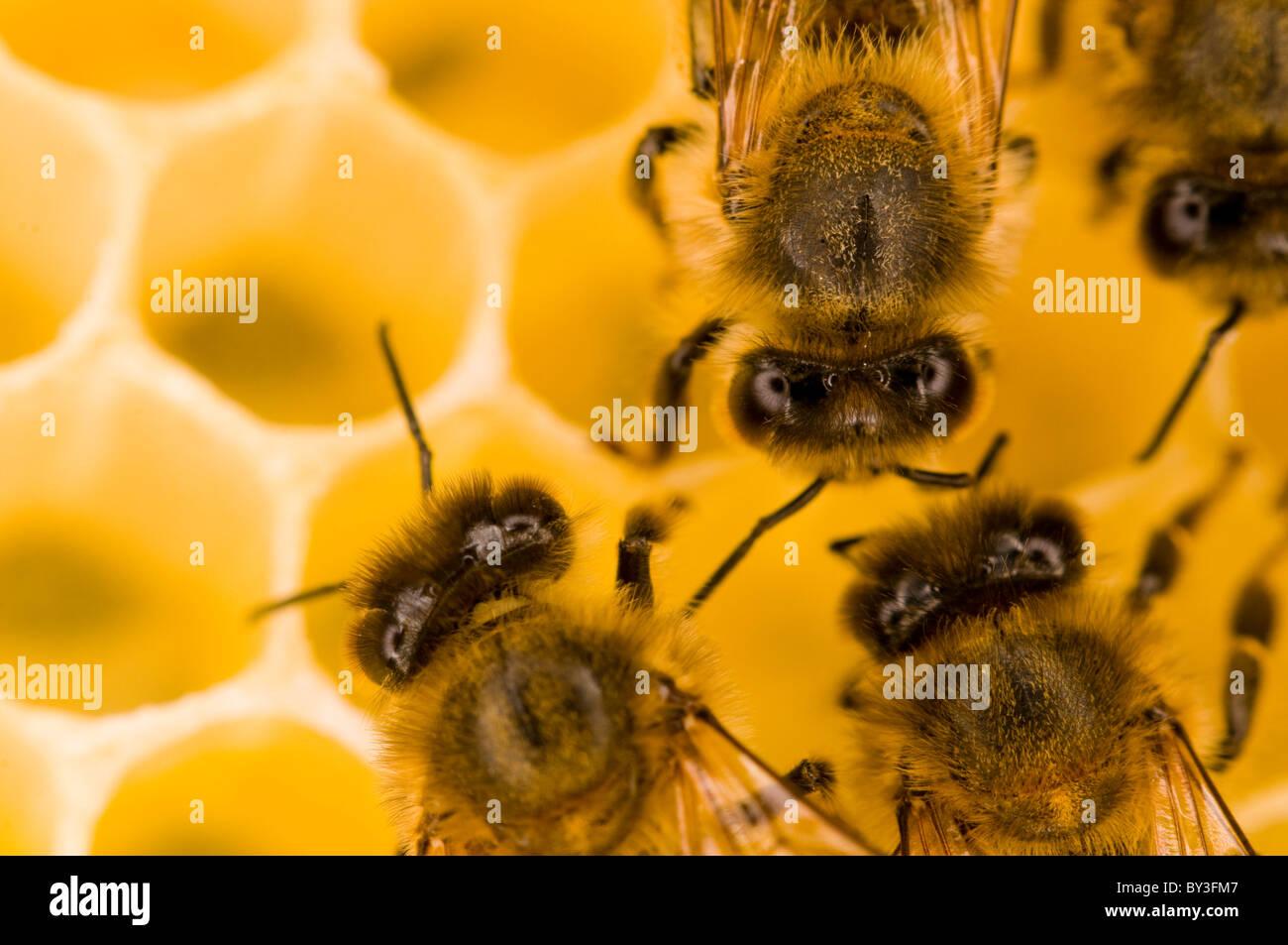 Las abejas melíferas Apis mellifera Foto de stock