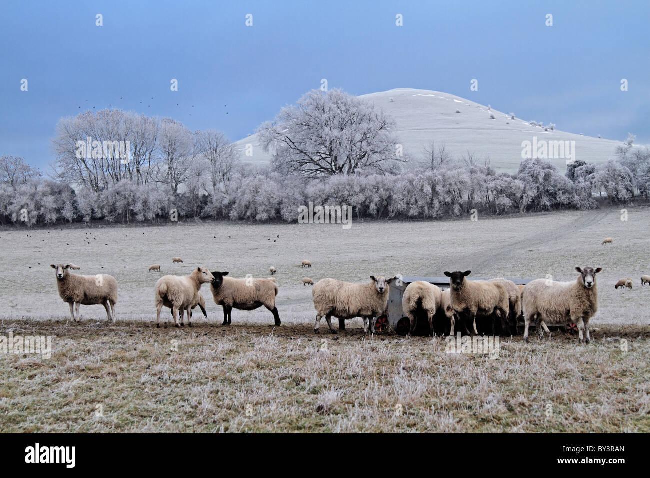 Ovejas en Beacon Hill heladas de invierno gélido hielo hielo Buckinghamshire Chilterns agricultura Bucks Imagen De Stock