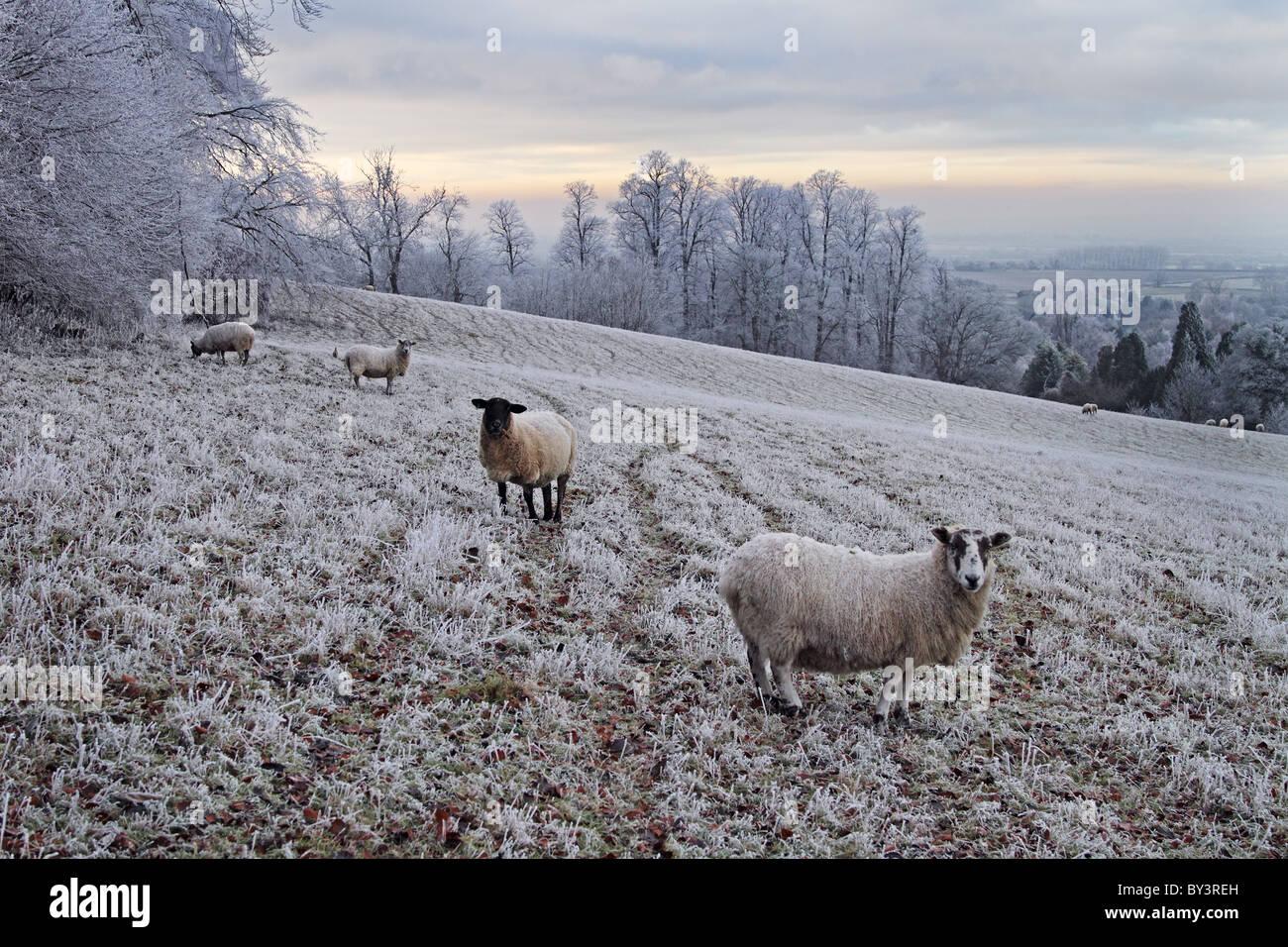 Ovejas en la colina Cybeline heladas de invierno gélido hielo hielo agricultura Imagen De Stock