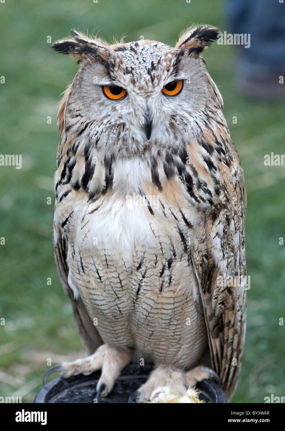 Owl en la granja Butser Wickerman Festival Sussex, UK Imagen De Stock