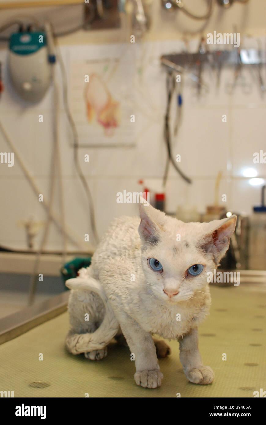Un pedigrí gato Cornish rex fue llevado a la clínica Foto de stock