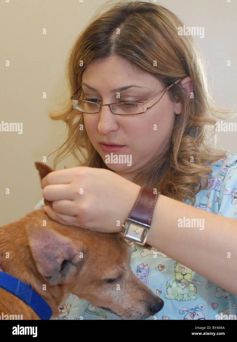 Hembra vet examina la oreja de un perro Foto de stock
