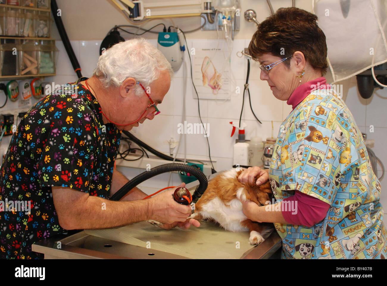 La EFP's preparan un perro para cirugía afeitarse su pierna para insertar una infusión Foto de stock