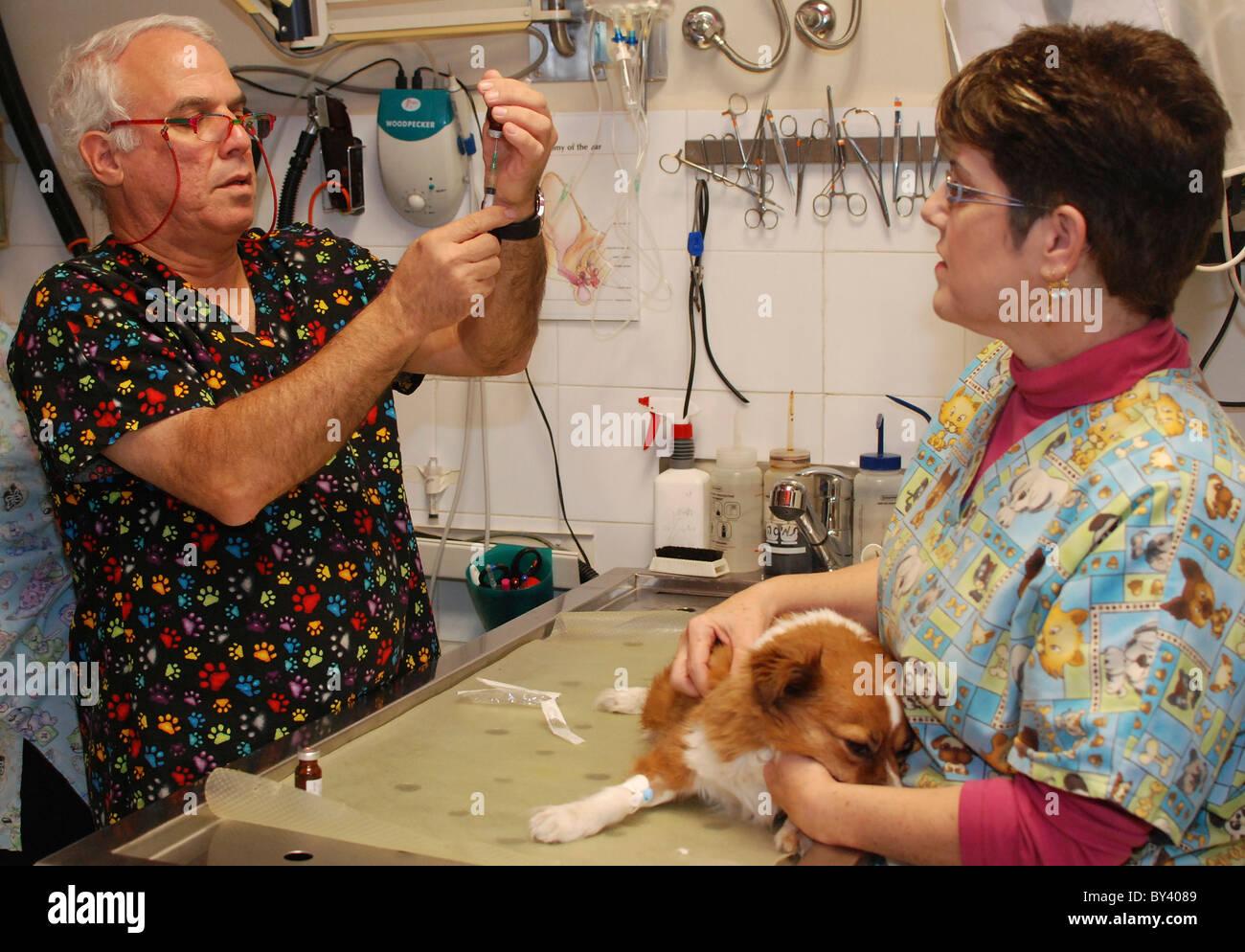 La EFP's preparan un perro para la cirugía. El veterinario está preparando una inyección sedante Foto de stock