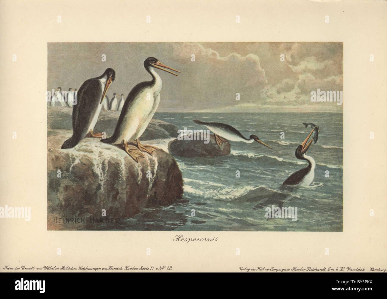 Hesperornis regalis, una especie de ave no voladora antigua de finales del período Cretácico. Foto de stock