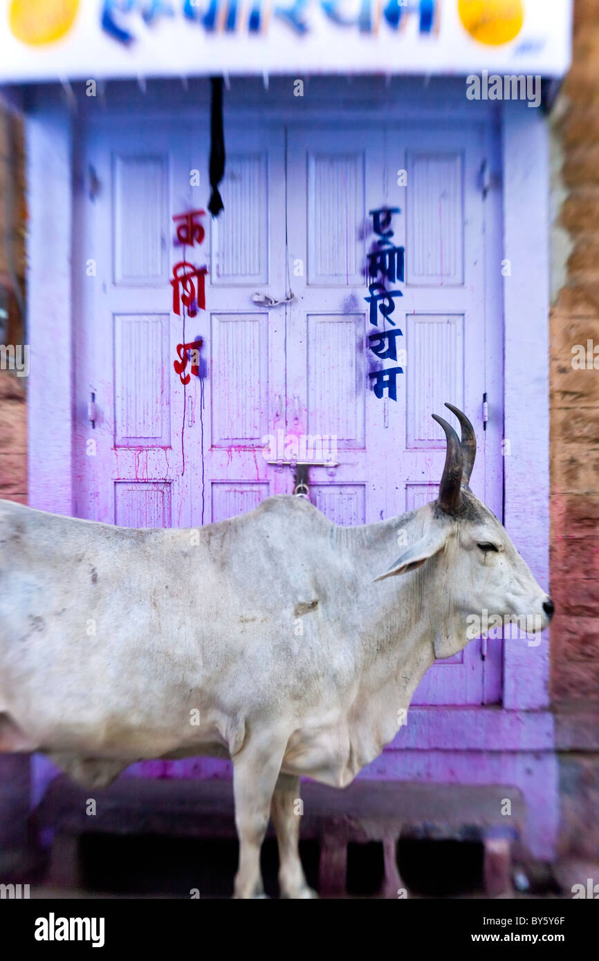 Vaca en portada, Jodhpur, Rajasthan, India Imagen De Stock