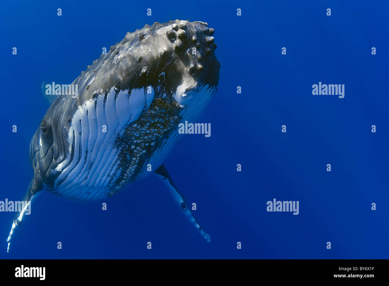 La ballena jorobada, Megaptera novaeangliae, Hawaii, USA, Océano Pacífico Foto de stock