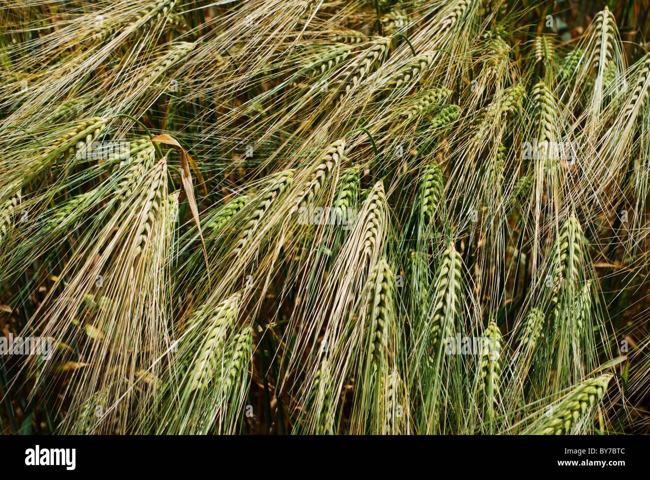 Grupo de jefes de la cebada verde y dorado Imagen De Stock