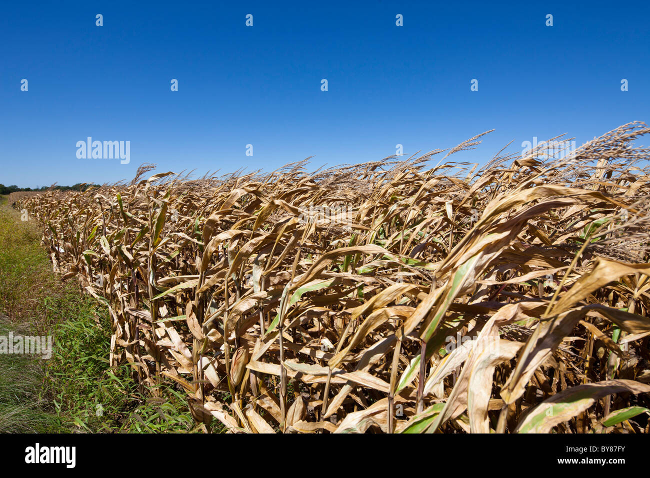 Campo de trigo maduro, Plano, Kendall County, Illinois, EE.UU. Foto de stock
