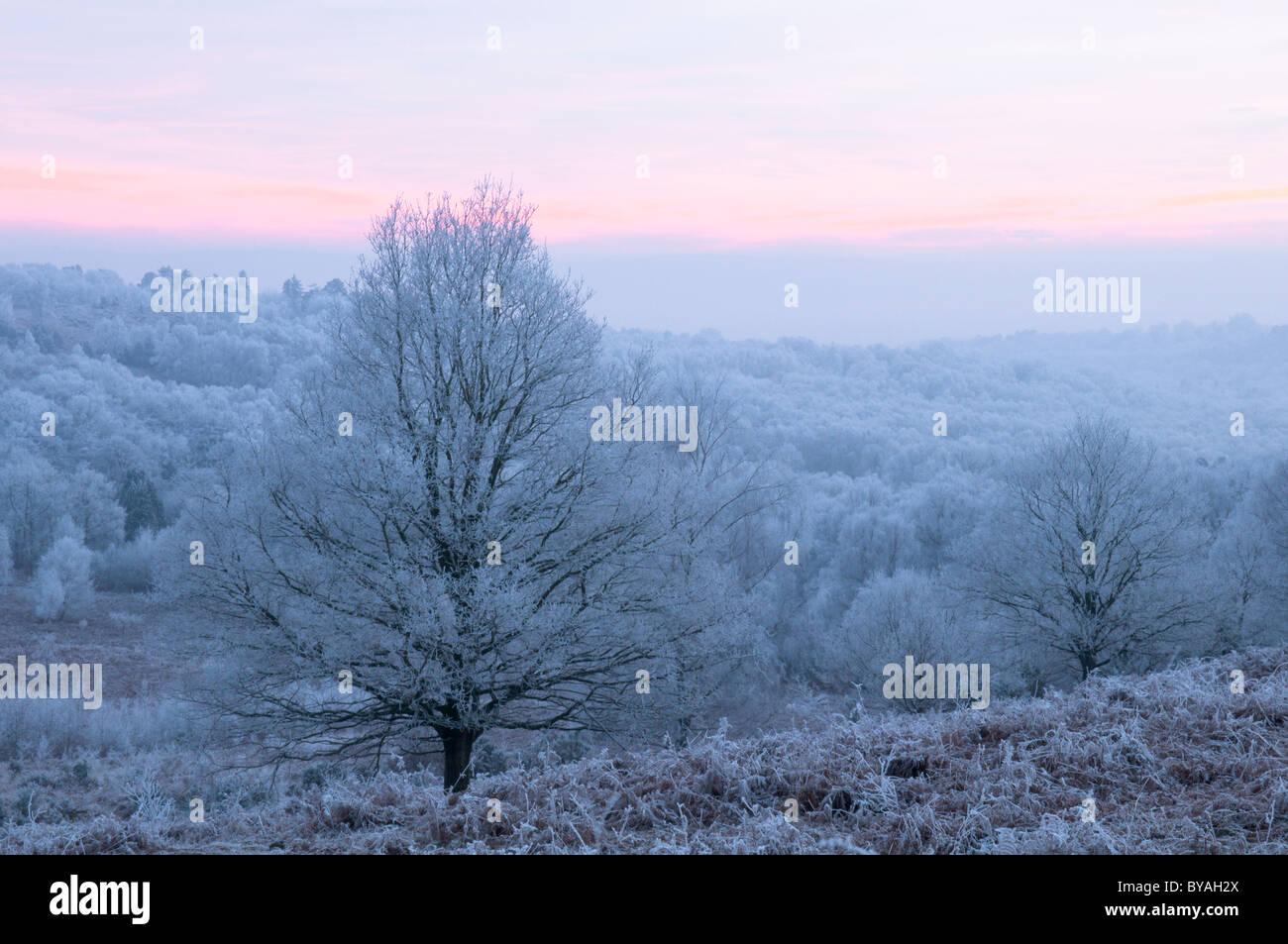 Helada hoar sobre árboles. woolbeding común, cerca de midhurst, West Sussex, Reino Unido. de enero. anochecer Imagen De Stock