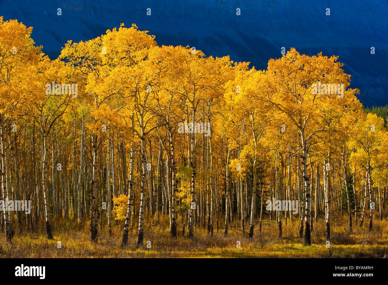 Un soporte de árboles de Aspen con hojas convirtió el amarillo dorado de otoño Imagen De Stock