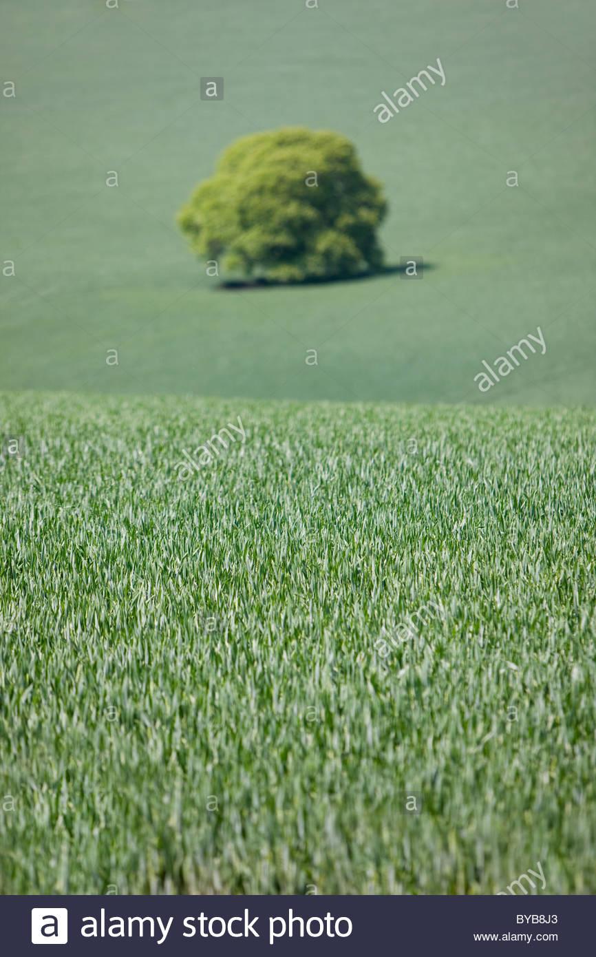 Árbol creciendo en el verde campo de trigo temprana Foto de stock