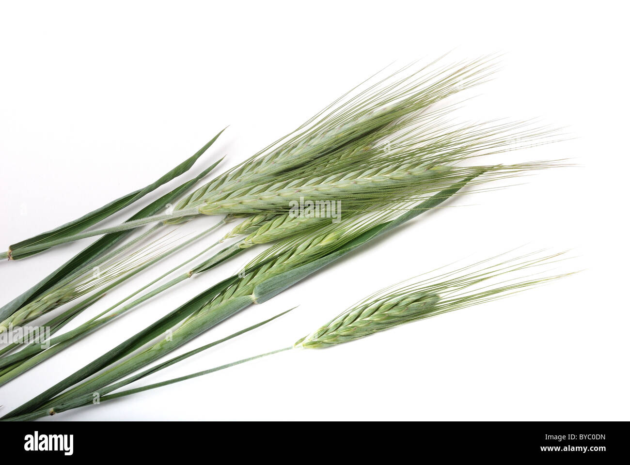 Cebada. Imagen De Stock