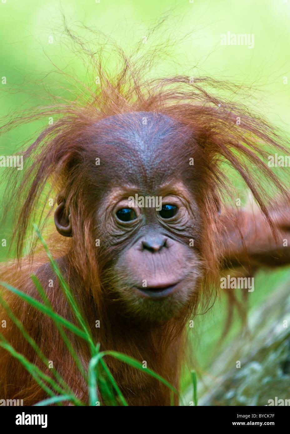 Lindo bebé orangután (Pongo pygmaeus) hasta cerrar con el contacto visual. Imagen De Stock