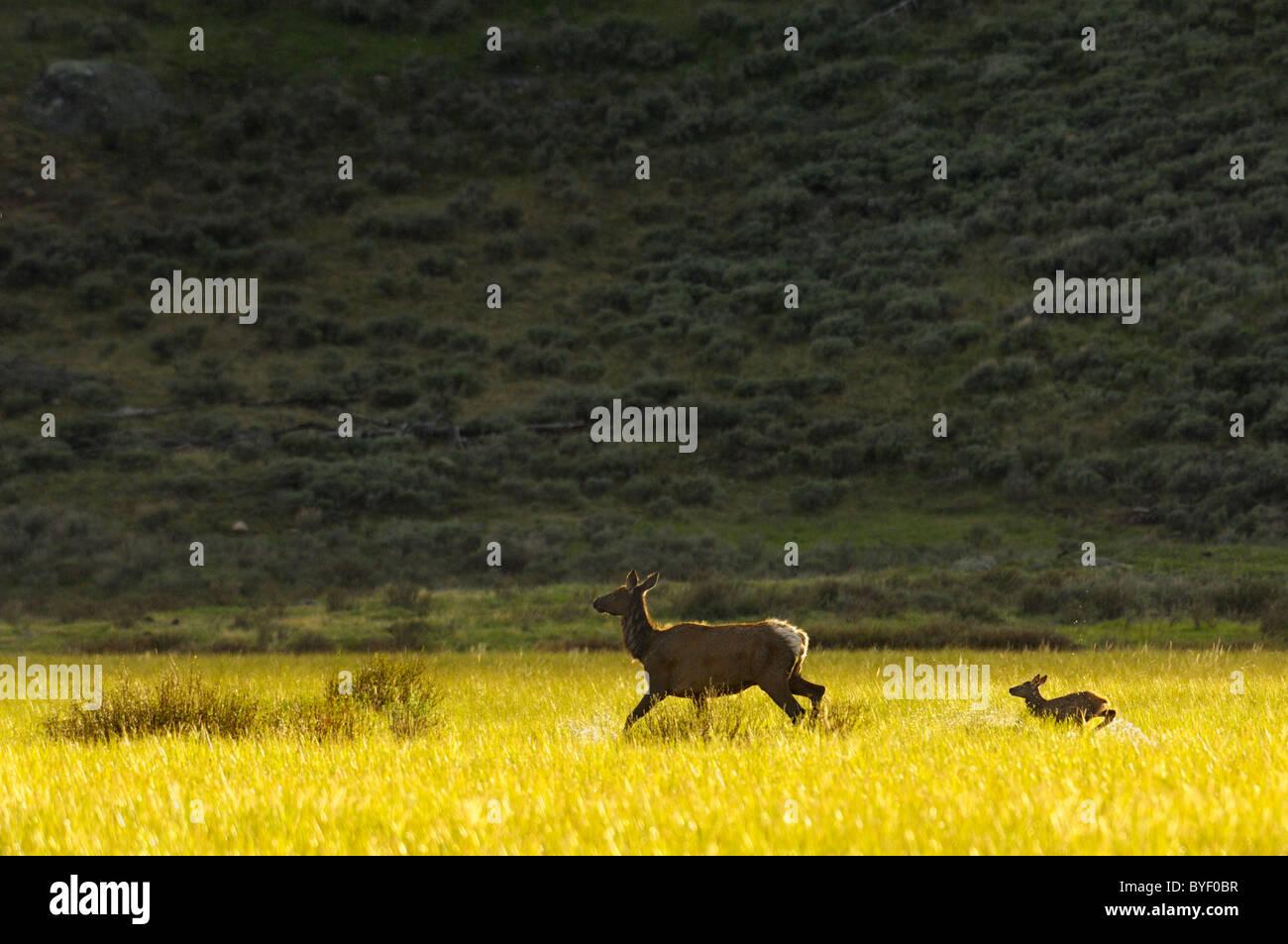 Elk y el bebé girando al atardecer. Foto de stock