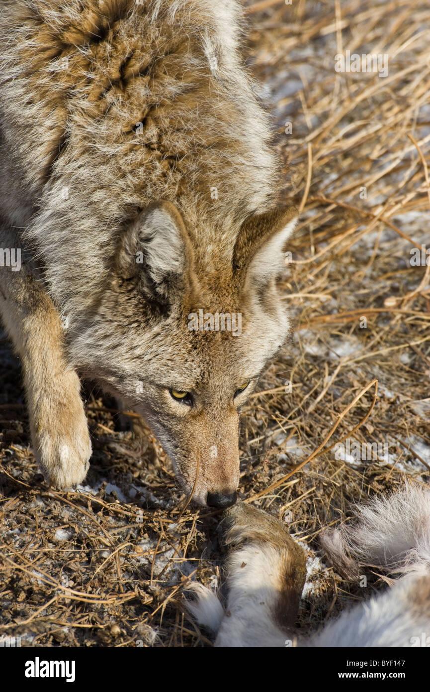 Un adulto coyote oler el cuerpo de un bebé que acaba de ovejas muertas. Imagen De Stock