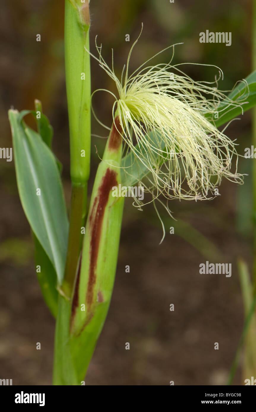 El maíz, el maíz (Zea mays). Tallo con inflorescencia femenina con jóvenes de seda. Imagen De Stock