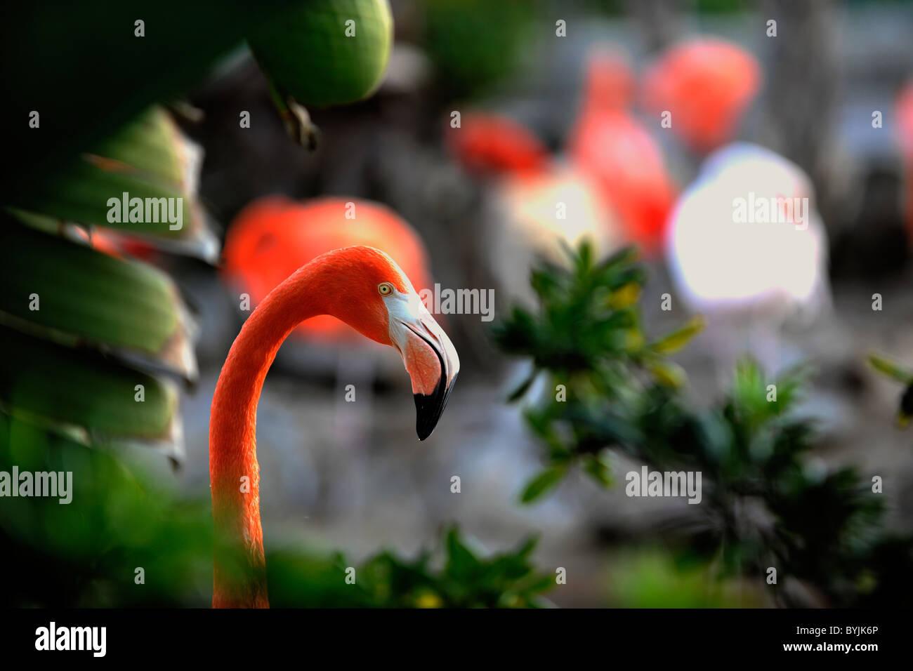 Phoenicopterus ruber. Retrato de un flamenco en una trama de hojas verdes. Foto de stock
