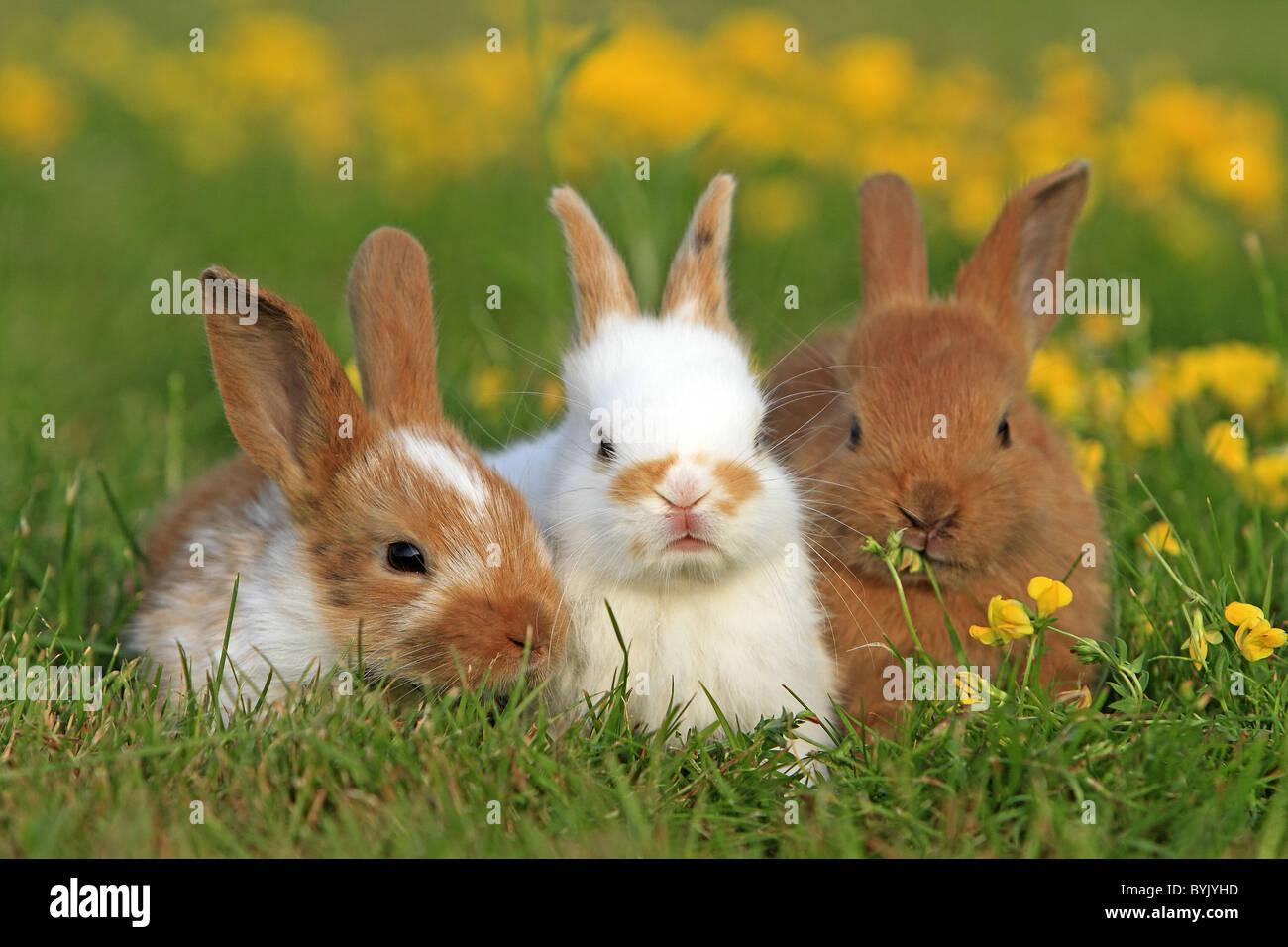 Conejo doméstico, Enano conejo (Oryctolagus cuniculus f. domestica). Tres personas en una pradera de floración. Imagen De Stock