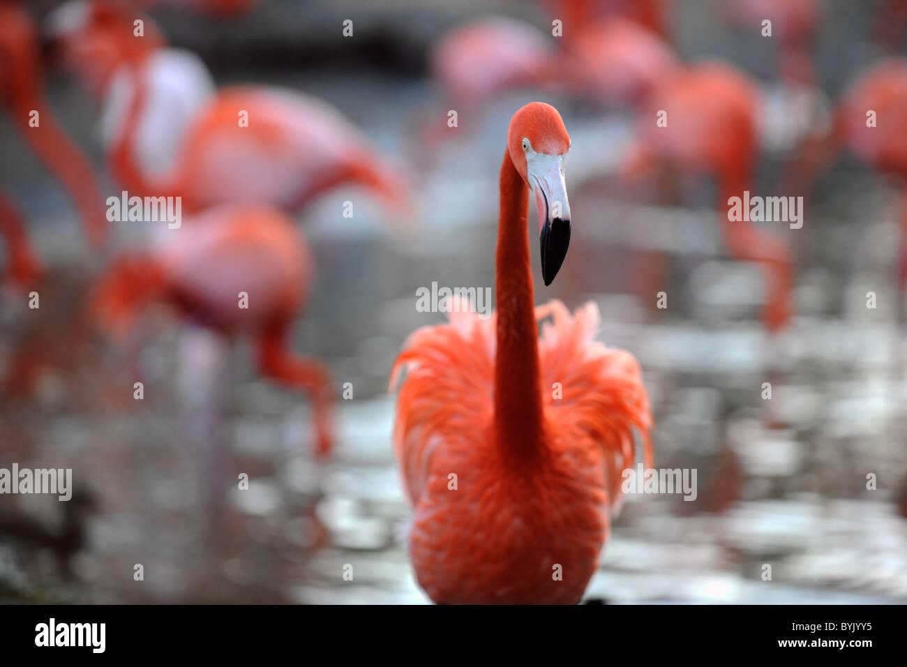 Phoenicopterus ruber. Retrato de un flamenco. Foto de stock