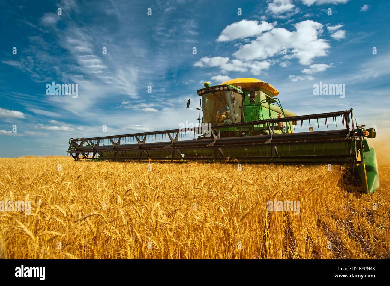 Agricultura - una cosechadora John Deere las cosechas de trigo de invierno maduro en la tarde de luz / cerca de Kane, Manitoba, Canadá. Foto de stock