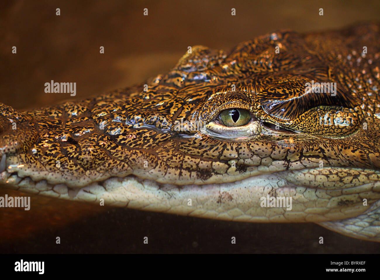 Peligro de reptiles peligrosos cocodrilos Crocodylus niloticus Imagen De Stock