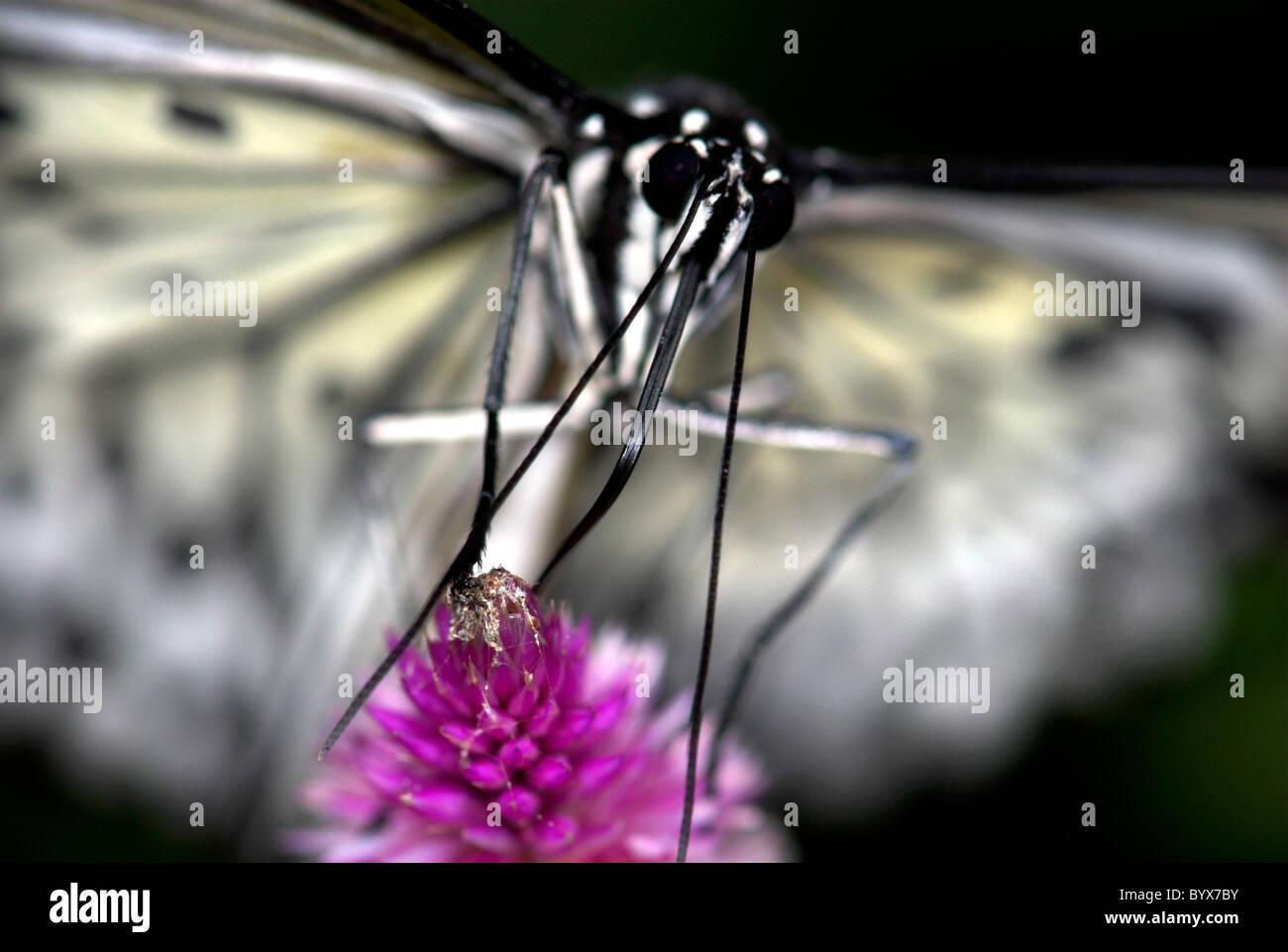 Ninfa árbol ButterflyIdea leuconoe Asia Foto de stock