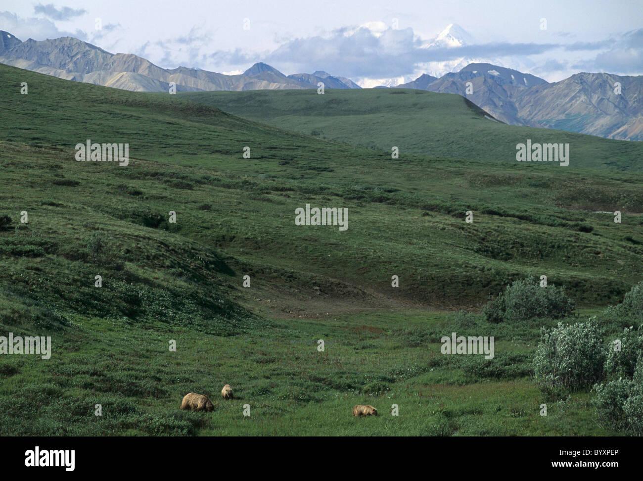Siembre y Cubs, Grizzly Bear, el Parque Nacional Denali, Alaska, oso pardo, osos, osos pardos, osos pardos Foto de stock