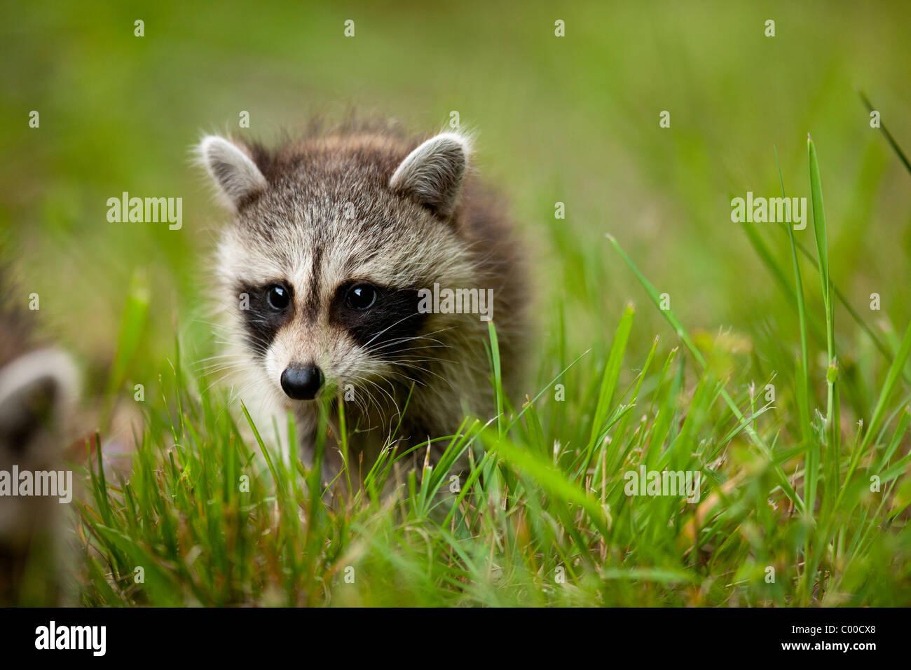 Ee.Uu., Maryland, Assateague Island National Seashore, joven mapache (Procyon lotor) caminar en la hierba en noche Imagen De Stock