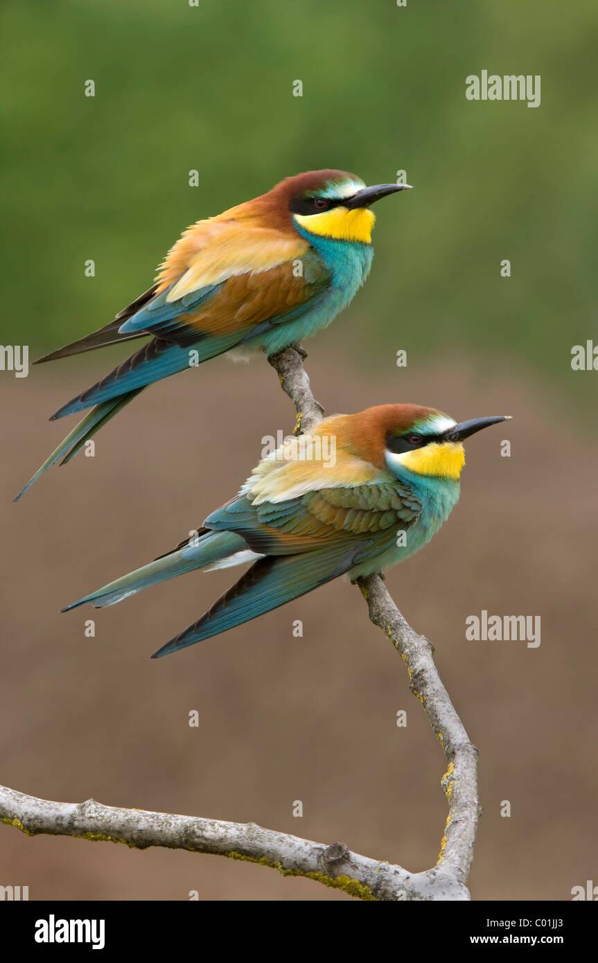 Abejarucos (Merops apiaster), Pinkafeld, Burgenland, Austria, Europa Foto de stock