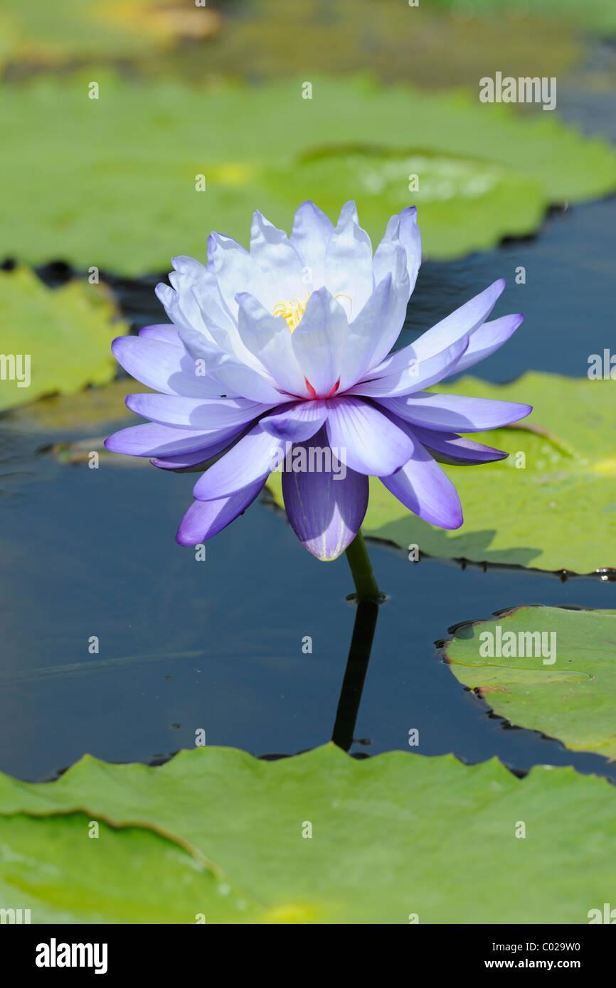 Blue Water Lily (Nymphaea gigantea) Imagen De Stock