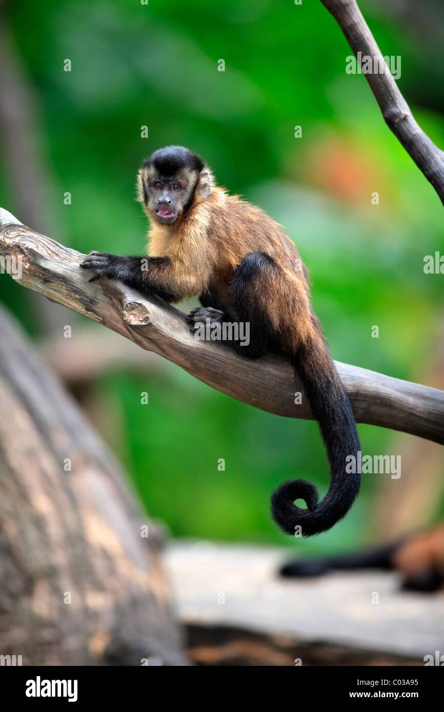 Llorona capuchino (Cebus olivaceus), adulto en un árbol, Sudamérica Foto de stock