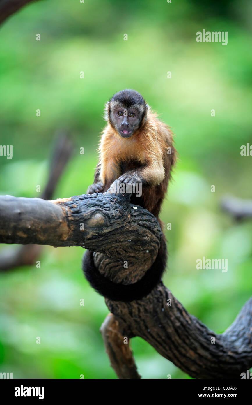 Llorona capuchino (Cebus olivaceus), adultos comiendo en un árbol, Sudamérica Foto de stock
