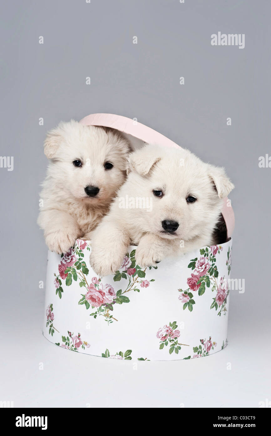 Dos Pastor Blanco Suizo o BERGER BLANC SUISSE cachorros en una caja con tapa Foto de stock