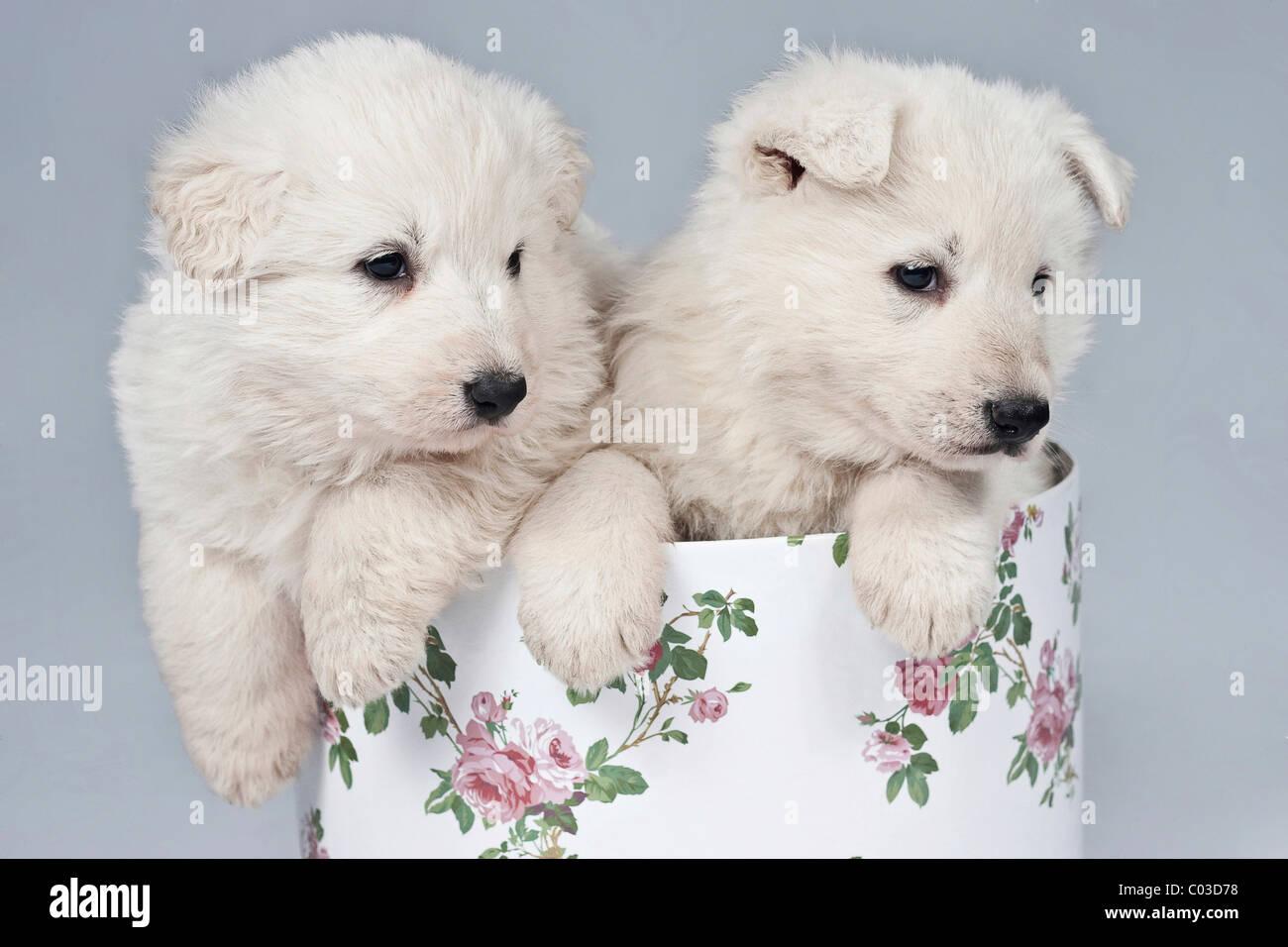 Dos Pastor Blanco Suizo o BERGER BLANC SUISSE cachorros en una caja Foto de stock