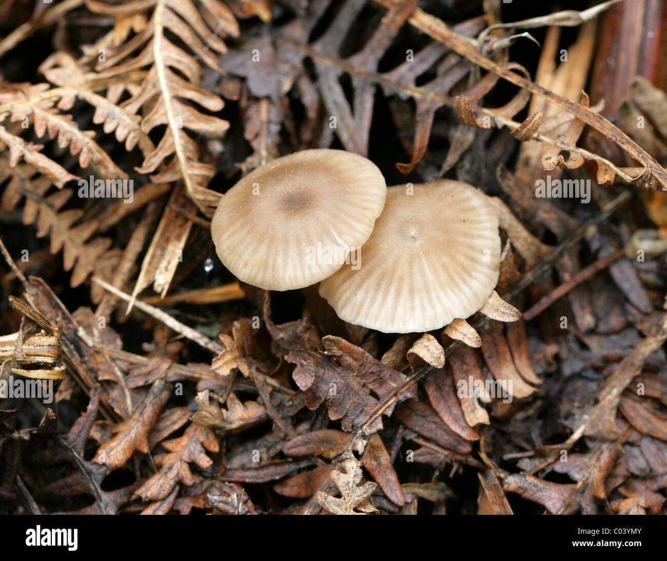 Mealy capot, Mycena cinerella, Mycenaceae. Creciendo en el viejo Bracken. Agosto, Berkhamsted, Hertfordshire. Foto de stock