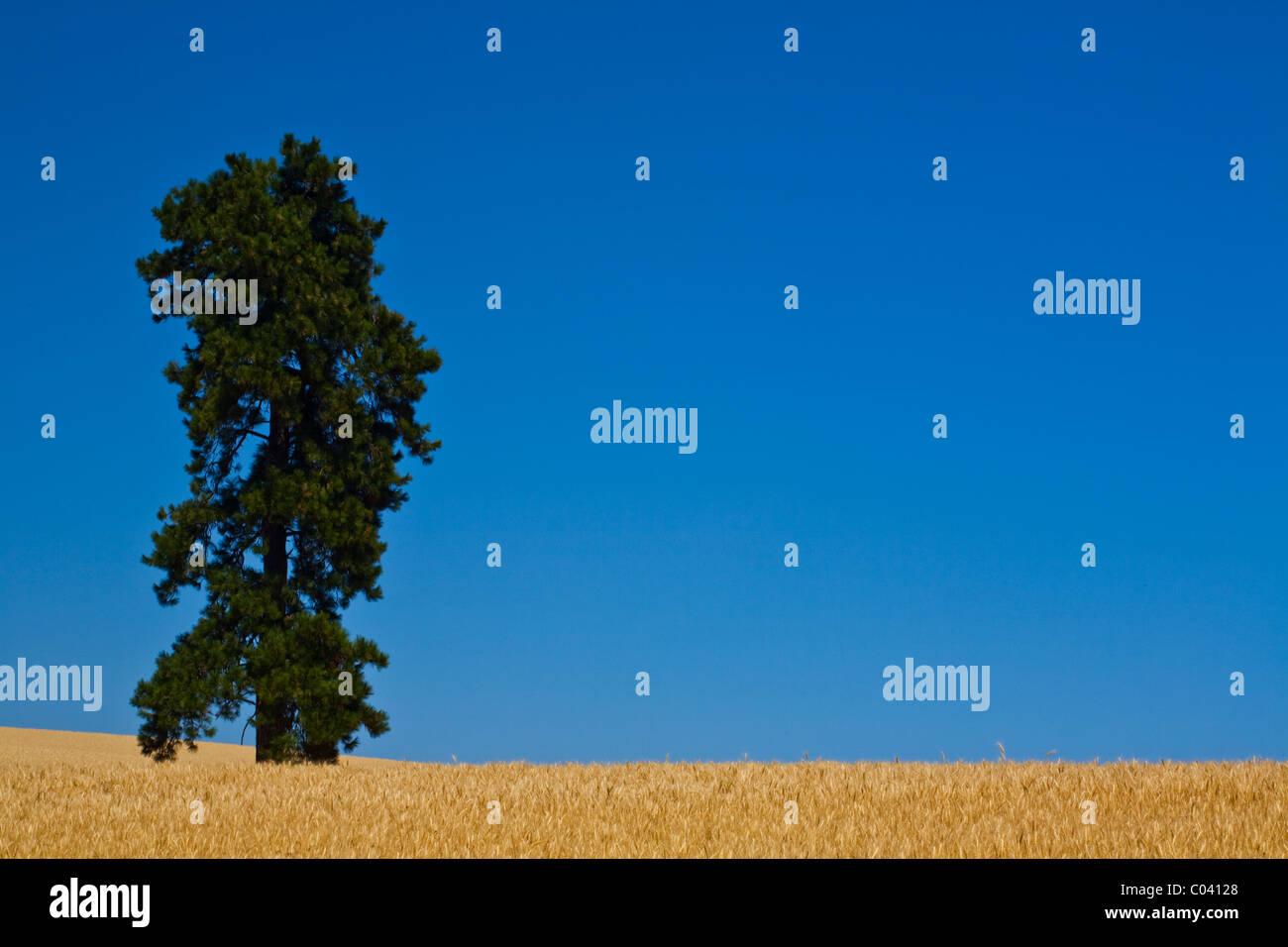 Un árbol solitario en un campo de trigo contra un vívido cielo azul Imagen De Stock