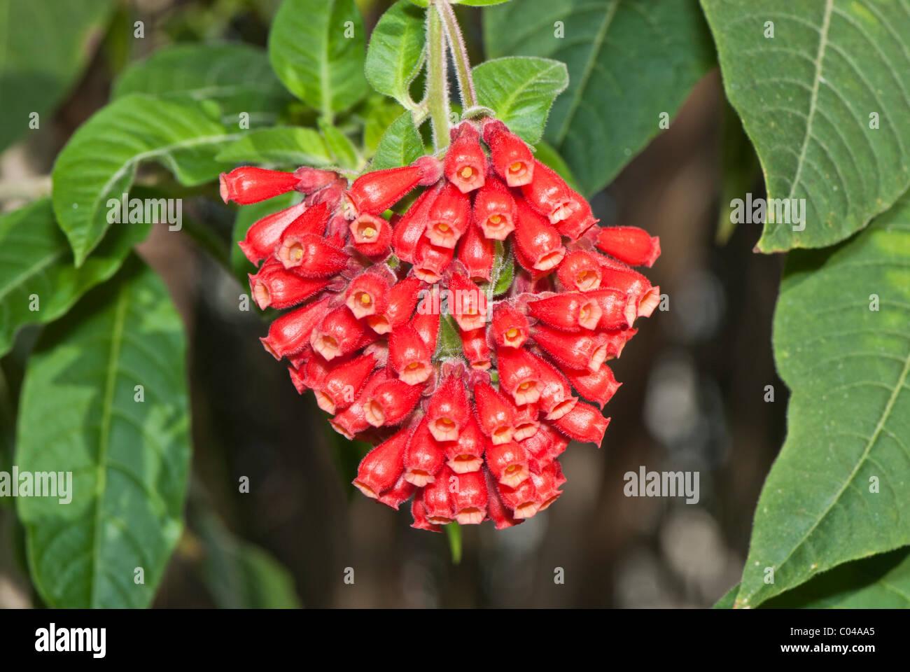 Solanaceae im genes de stock solanaceae fotos de stock - Calibrachoa perenne ...